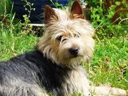 silky dog white. free images : sun, spring, garden, vertebrate, dog breed, cairn terrier, australian silky like mammal, west highland white k
