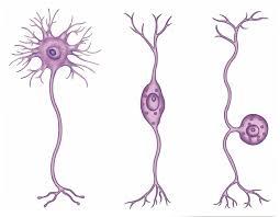 الأشكال المختلفة للعصبونات الحقيقية
