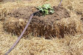 How To Condition Fertilize Straw Bales Organic Straw Bale