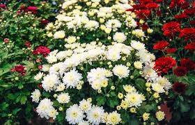 chrysanthemum morifolium moonglow white white garden mum