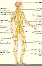 Высшая нервная система Основные нервы Высшая нервная система