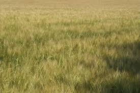 wild grass texture. Beautiful Texture Field Wild Grass High Grass In Wild Grass Texture A