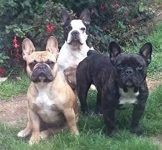 French Bulldog Color Chart Colour French Bulldog Club Of England