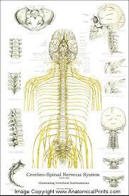 Back Nerve Chart