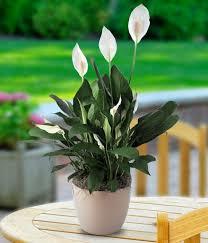 best indoor plants for office. 9 Low Maintenance Plants For The Office Inhabitat Green Design Intended Desk Decorating Furniture: 7 Indoor Best I