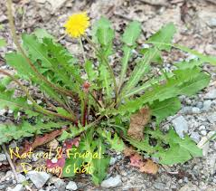 Image result for pulling dandelions