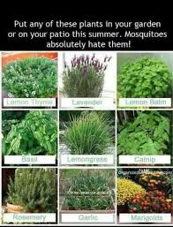 Plants mosquitoes hate! We plant lemon grass in large pots around the patio.