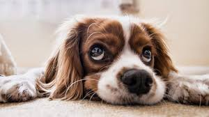 dog smell out of carpet how to