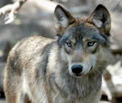 this july 16 2004 file photo shows a gray wolf at the wildlife