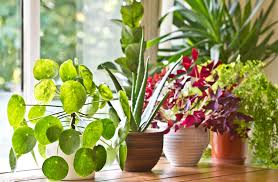 15 houseplants and their amazing health benefits houseplant health benefits