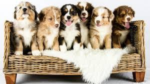 Australian Shepherd Puppies Growing Time Lapse