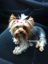 puppy cut haircut teacup yorkie haircut yorkie hairstyle yorkshire terrier hair