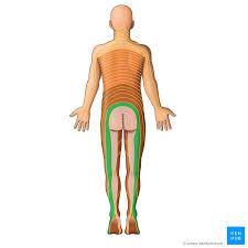 Dermatomes Anatomy And Dermatome Map Kenhub