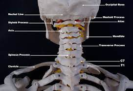 The trapezius, commonly referred to as the traps, are responsible for pulling your shoulders up, as in shrugging, and pulling your shoulders back during scapular retraction. Upper Cervical Spine Disorders Anatomy Of The Head And Upper Neck