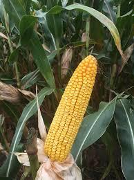 Hybrid Seed Corn Conventional Seed Corn Terning Seeds