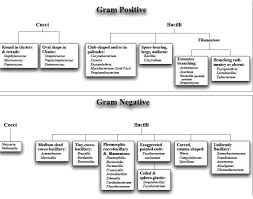 Classification Of Bacteria On Basis Of Gram Stain