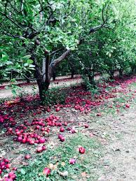 photo essay family apple picking new york sifting focus apple picking ny