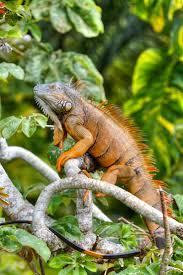202 Best Iguanas Sure Do Love Em Images On Pinterest Iguanas