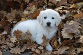 albino golden retriever. Delighful Retriever This Is A Kalei CGC X Poi Puppy Now Living In IL She Beautiful  And Girly Girl Throughout Albino Golden Retriever I