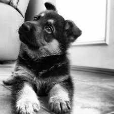 black and white german shepherd photography. Delighful White Black And White German Shepherd Dog  Photo2 To And White German Shepherd Photography