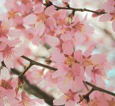 reverence 8 x 10 fine art photograph cherry blossom photography