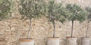 Elaeagnus Et Cetera  Eat The Weeds And Other Things TooWild Olive Tree Fruit