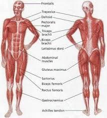 Womens Body Chart Womens Muscular Anatomy Human Body Muscles Muscle
