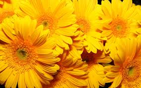 Yellow Flowers Wallpaper For Desktop ...