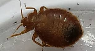 bed bugs in bathroom. Contemporary Bed Bed Bugs In Bathroom To Bugs In Bathroom B