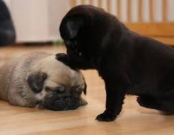black teacup pugs. Exellent Teacup Black And Fawn Pug Puppies Cuteness Level Picture On Teacup Pugs A