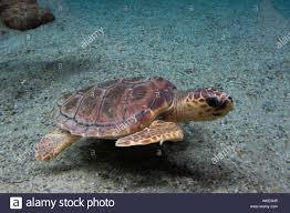 Caretta Sea Life Stockfotos und -bilder Kaufen - Alamy