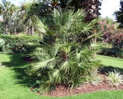 fan palm trees. european fan palm tree; tree trees
