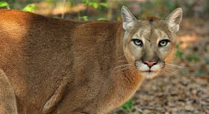 For the discussion of the florida panthers and all affiliates. Help Save The Florida Panther