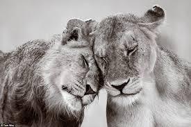 """Képtalálat a következőre: """"oroszlánpár"""""""