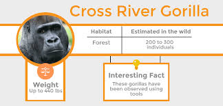 the cross river gorilla is very similar in appearance to their relative the western lowland gorilla very slight differences are found in the skull and