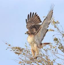 hawk without feathers. Exellent Feathers Do The Shoulders Form A White V Throughout Hawk Without Feathers