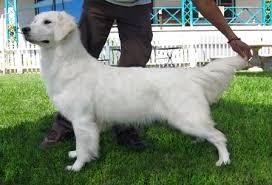 albino golden retriever. Brilliant Retriever History Of The White Golden Retriever On Albino G