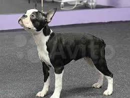 <b>бостон терьер</b> - Купить недорого собаку или щенка   в России ...