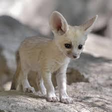 newborn fennec fox. Modren Newborn Hereu0027s A Real Baby Fennec Fox 3  Throughout Newborn Fennec S