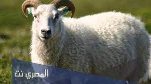 ما هي شروط الاضحيه من الضان وكيفية توزيعها - المصري نت