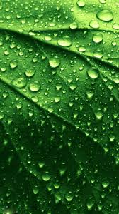 Hd Green Leaves And Water Drops Iphone ...