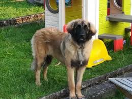 Leonberger Puppy Growth Chart Puppy Growth Chart Kaly Leonberg Female