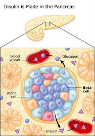 Image result for islets of langerhans diabetes