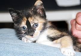 Image result for חתולה טריקולורית