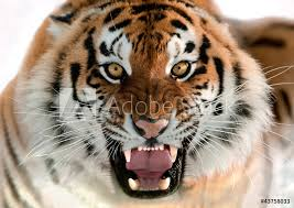 tiger face growling. Unique Face Intended Tiger Face Growling A