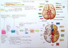 Venous Blood Flow Chart Flowchart Blood Supply To The Brain And Venous Sinus