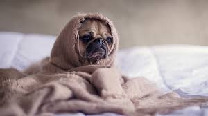 Can Dogs Get Colds? | How to Tell if your Dog Has a Cold | Rover.com