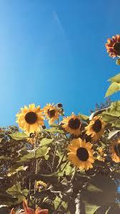 Aesthetic Sunflower Field Wallpapers ...
