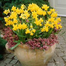 van zyverden daffodils tete a tete for containers set of 25