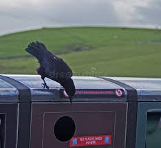checking bin raven hanging out checking recycle bin stock image image of raven